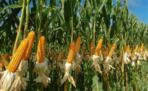 Maize Cultivation Information Guide | AsiaFarming