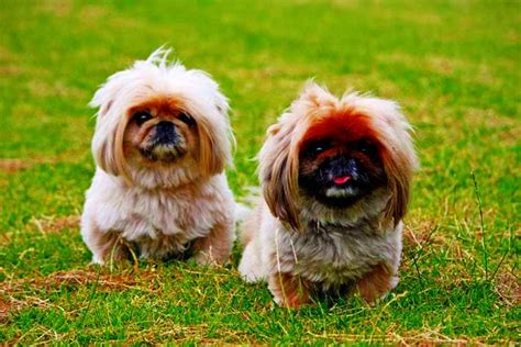 10 Incredible Dog Breeds Originally from China: Our Guide