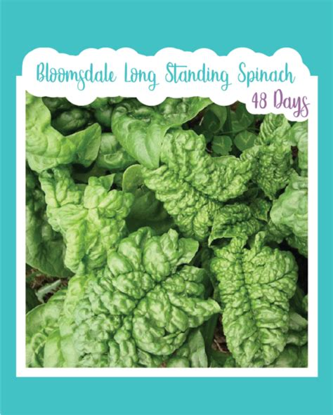 Spinach Greens – Seed Mail Seed Co