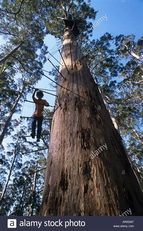 Giant Karri tree used as fire-lookout, Climbing a 60 metre