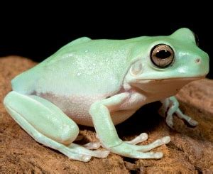 Australian Green Tree Frog Facts and Pictures