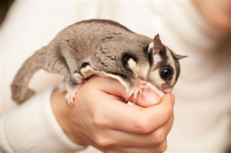 Exotic Pets Laws - Is It Legal To Buy Exotic Pets?
