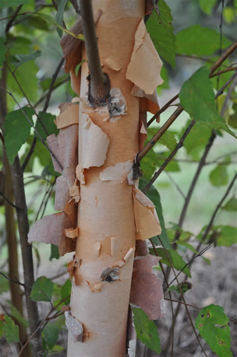 River Birch For Sale Online | The Tree Center