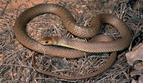 Eastern Brown Snake | Biodiversity of the Western Volcanic