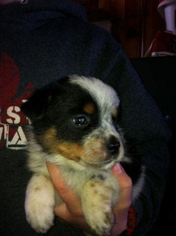 Miniature Texas Heeler Puppies for Adoption for Sale in
