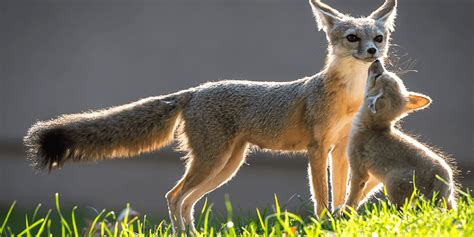 Kit Fox Facts, Information, Hd pictures and all details