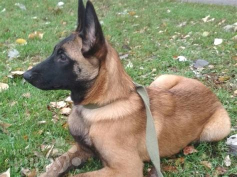 Duna - Belgian Malinois Puppy for sale | Euro Puppy