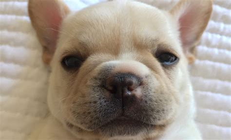 10 Of The Cutest French Bulldog Puppies The World Has Ever