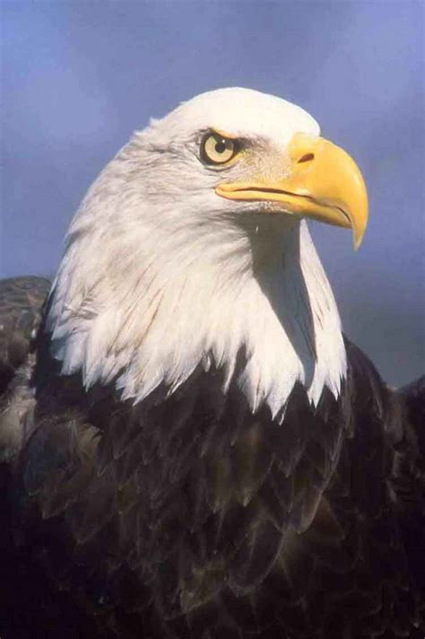 American News Broadcasting: Poisoned Bald eagles in