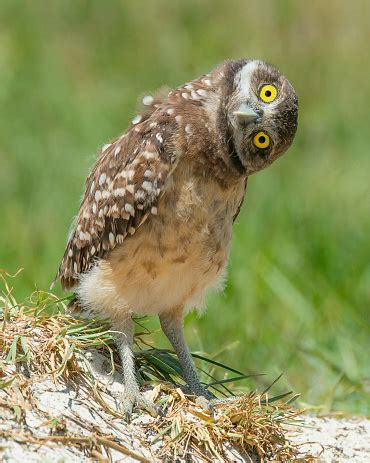 What Did You Say Owl Tilts Head Listening Stock Photo