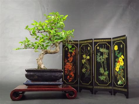 Chinese Elm S Trunk Bonsai tree Display with driptray
